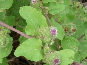 burdock-flower